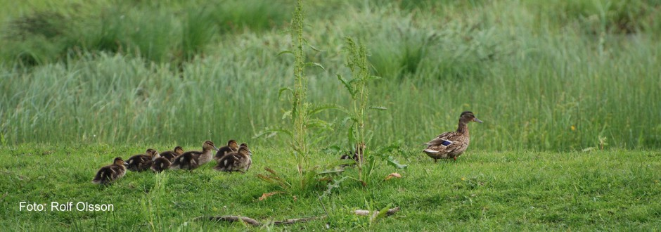 Gräsand med ungar. Foto: Rolf Olsson